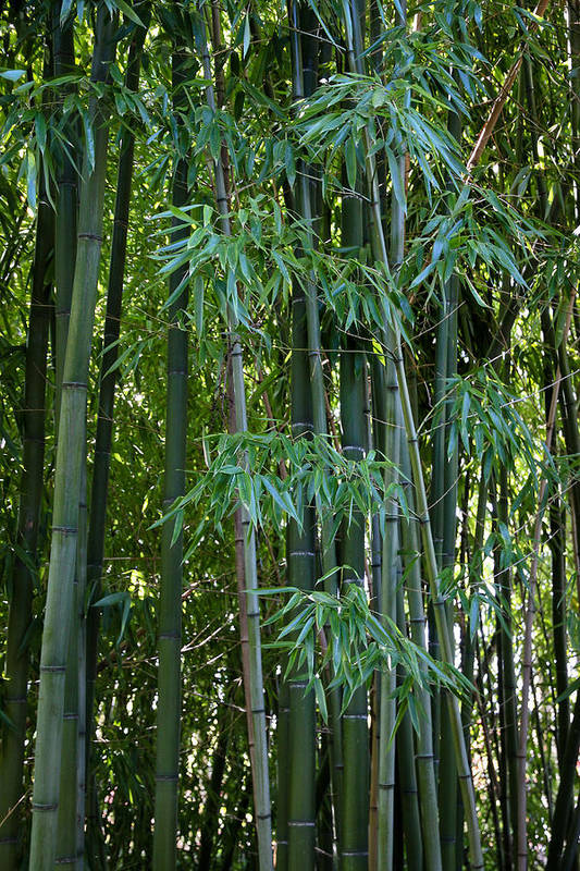 Bamboo Poster featuring the photograph Bamboo Tree by Athena Mckinzie