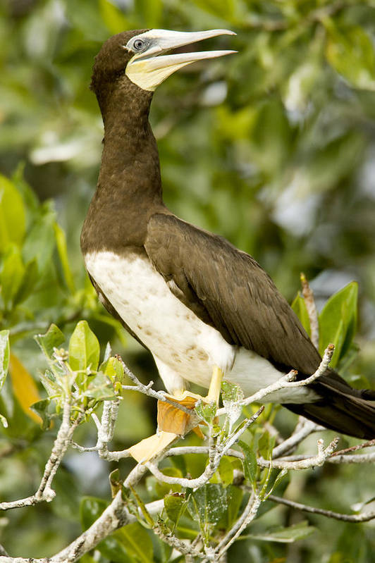 Mangrove Trees Poster featuring the photograph Brown Booby Sula Leucogaster by Tim Laman