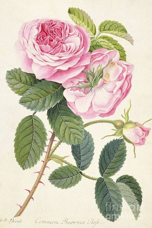 Common Provence Rose Poster featuring the painting Common Provence Rose by Georg Dionysius Ehret
