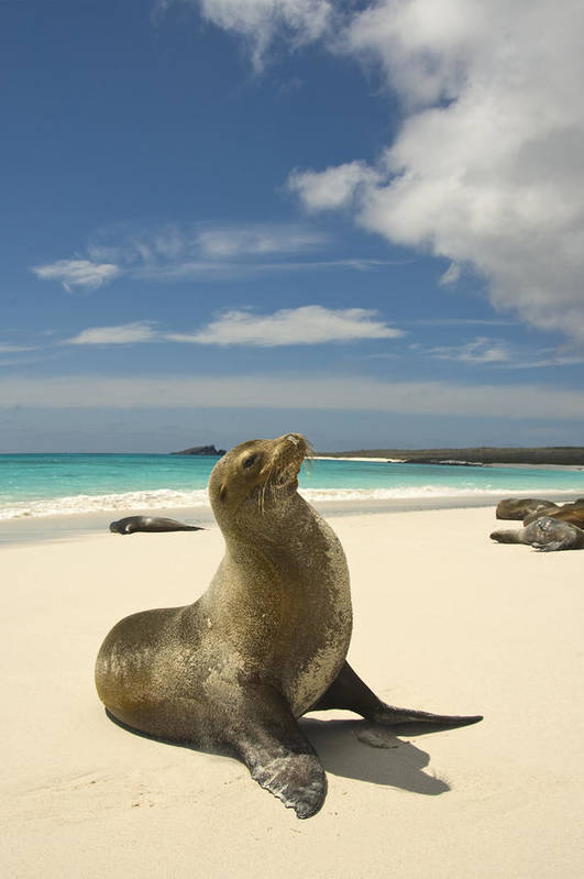 Day Poster featuring the photograph Galapagos Sea Lions Resting On A White by Annie Griffiths