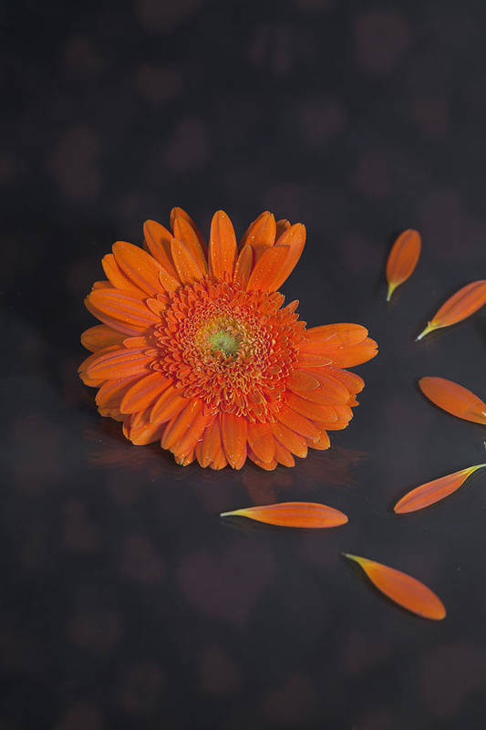 Gerbera Poster featuring the photograph He Loves Me... by Joana Kruse