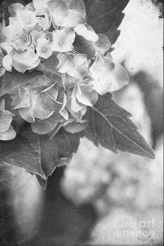 Hydrangea Poster featuring the photograph Hydrangeas In Black And White by Stephanie Frey