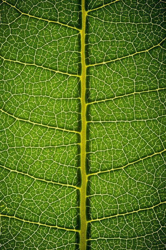 Gadomski Poster featuring the photograph Milkweed Leaf by Steve Gadomski