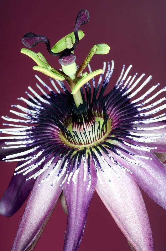 Passiflora Amethystina Poster featuring the photograph Passion Flower (passiflora Amethystina) by Lawrence Lawry