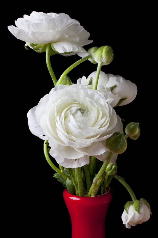 White Ranunculus Flower Red Poster featuring the photograph Ranunculus In Red Vase by Garry Gay