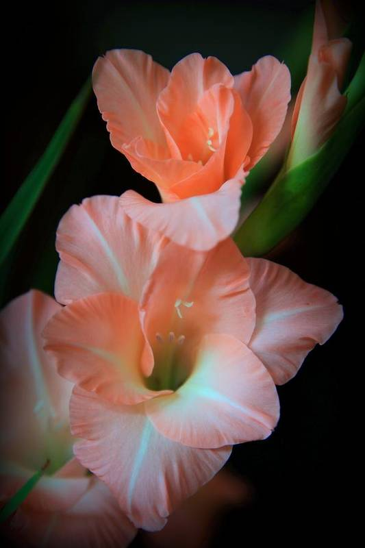 Gladiolus Poster featuring the photograph Simply Glad by Karen Wiles