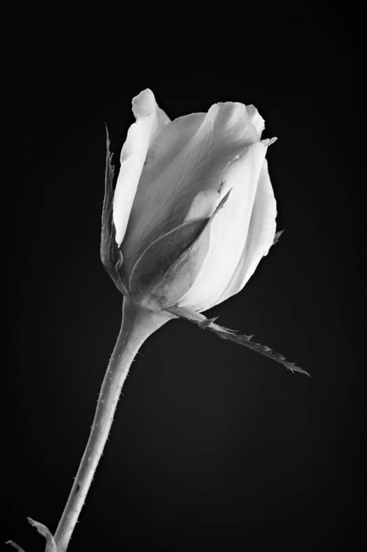 Rose Poster featuring the photograph Soft Rose Black And White by M K Miller