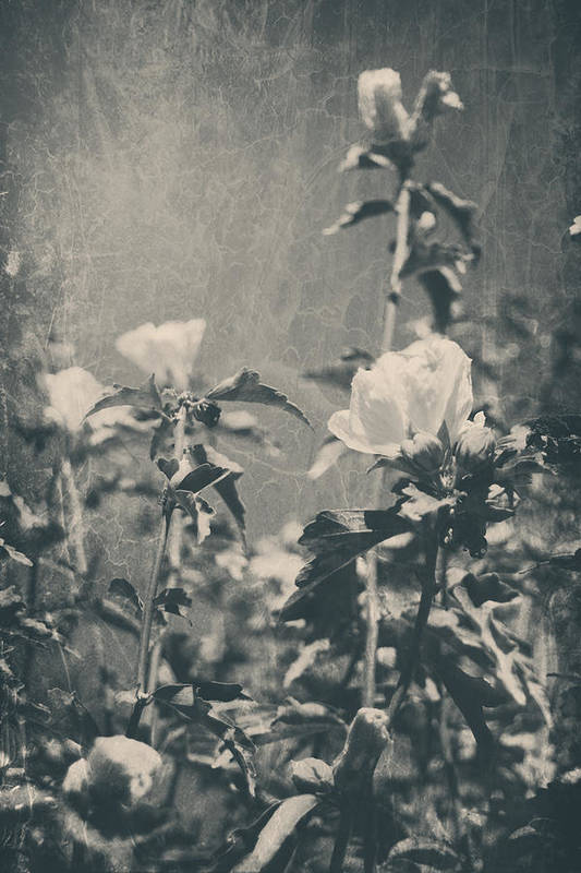 Roses Poster featuring the photograph This Glorious Sadness by Laurie Search