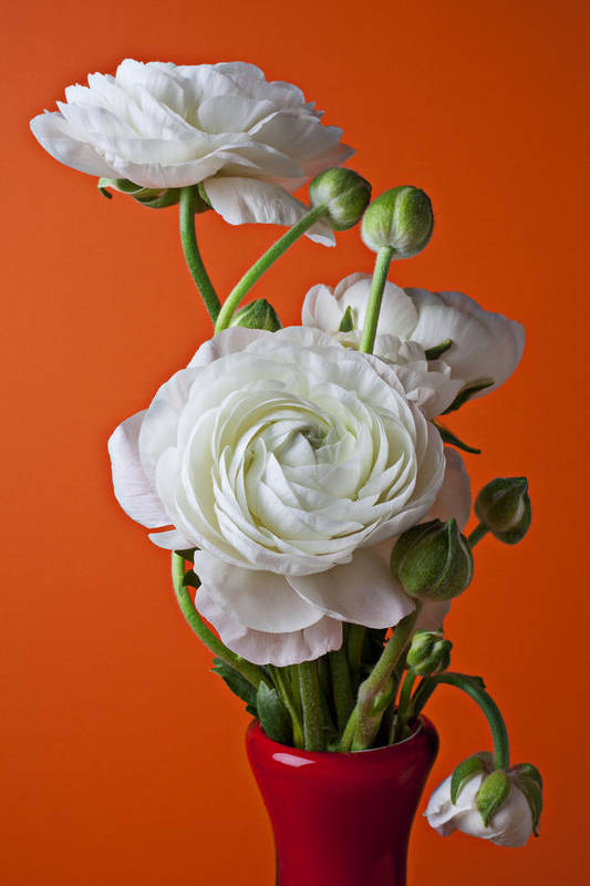 White Ranunculus Red Vase Flower Poster featuring the photograph White Ranunculus Close Up In Red Vase by Garry Gay