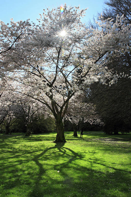 Cherry Poster featuring the photograph Cherry Blossom Sunshine by Pierre Leclerc Photography