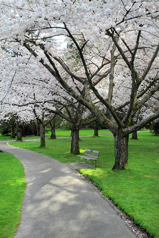 Cherry Poster featuring the photograph Cherry Blossoms In Stanley Park Vancouver by Pierre Leclerc Photography