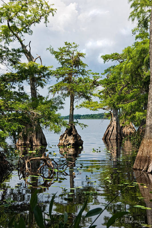 Trees Poster featuring the photograph Cypress Reflections by Christopher Holmes