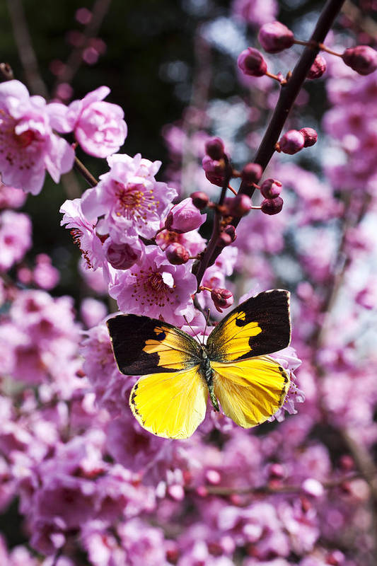 Butterfly Wings Flower Poster featuring the photograph Dogface Butterfly In Plum Tree by Garry Gay