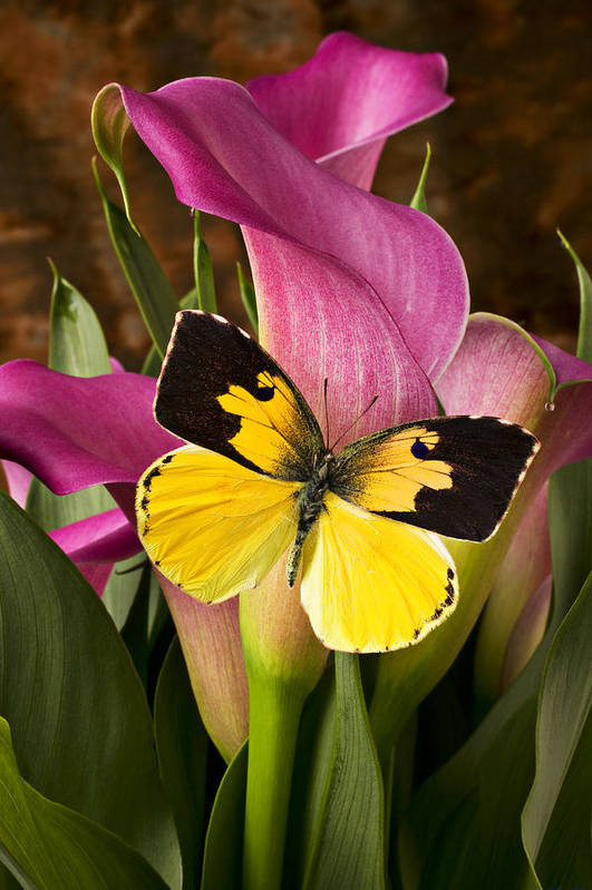 Butterfly Poster featuring the photograph Dogface Butterfly On Pink Calla Lily by Garry Gay
