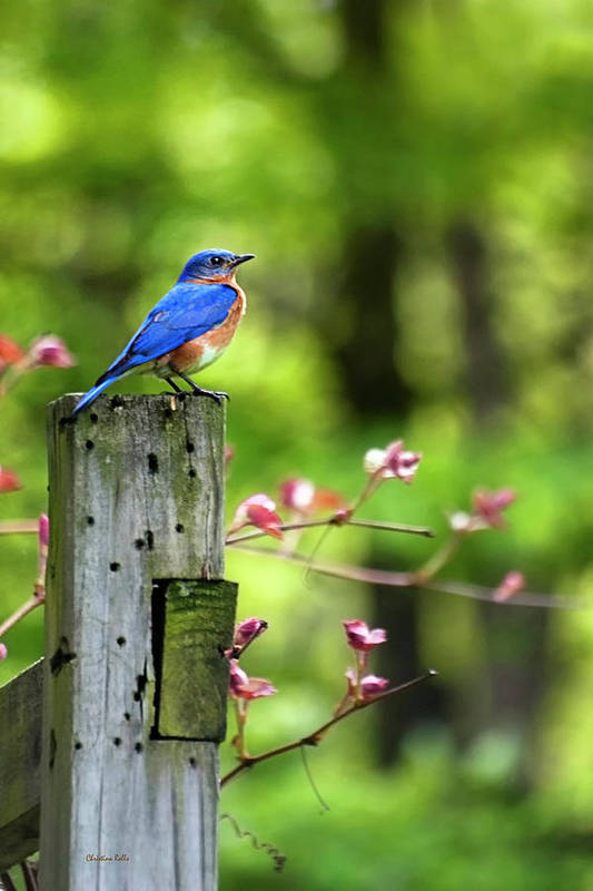Bird Poster featuring the photograph Eastern Bluebird by Christina Rollo