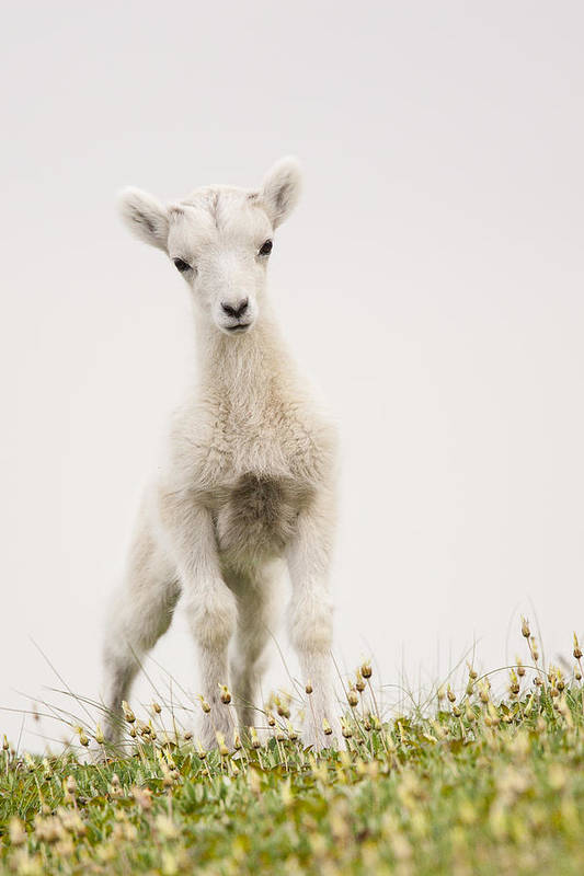 Dall Sheep Poster featuring the photograph Frisky Lamb by Tim Grams