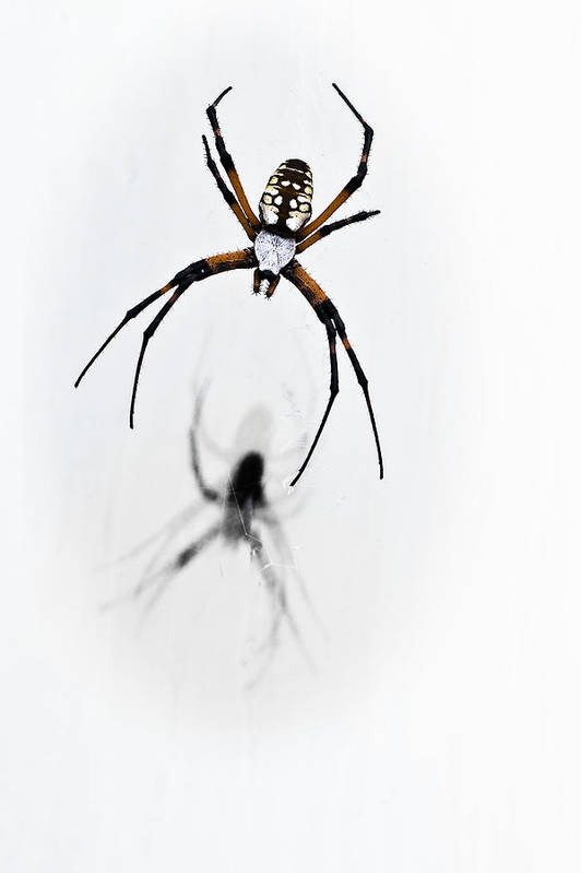 Garden Spider Poster featuring the photograph Garden Spider With Shadow by Tamyra Ayles