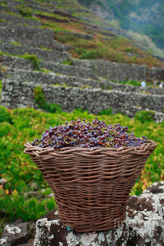 Basket Poster featuring the photograph Grape Harvest by Gaspar Avila