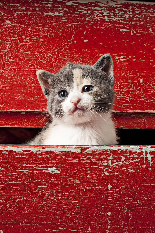 Kitten Poster featuring the photograph Kitten In Red Drawer by Garry Gay