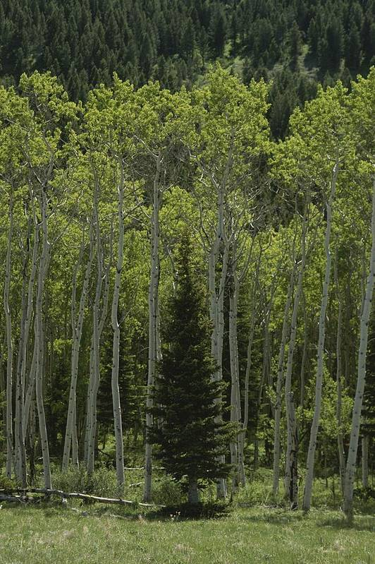Plants Poster featuring the photograph Lone Evergreen Amongst Aspen Trees by Raymond Gehman
