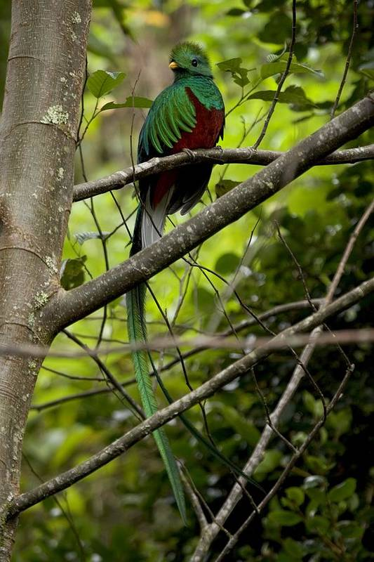 Quetzals Poster featuring the photograph Male Resplendent Quetzal by Roy Toft