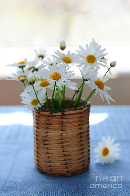 Daisy Poster featuring the photograph Morning Daisies by Elena Elisseeva