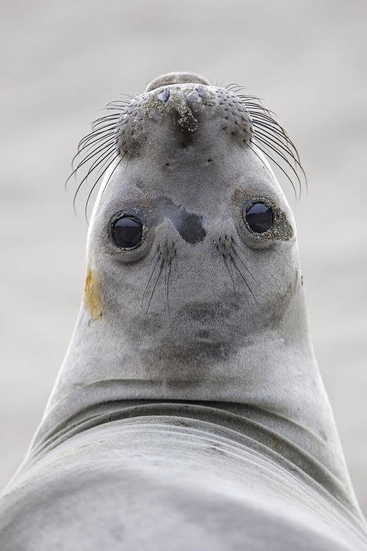Mp Poster featuring the photograph Northern Elephant Seal Looking Back by Ingo Arndt