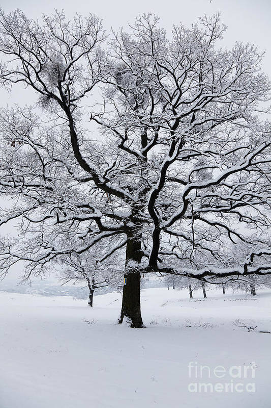 Winter Poster featuring the photograph Oak by Gabriela Insuratelu