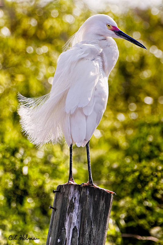 snowy Egret Poster featuring the photograph On Watch by Christopher Holmes