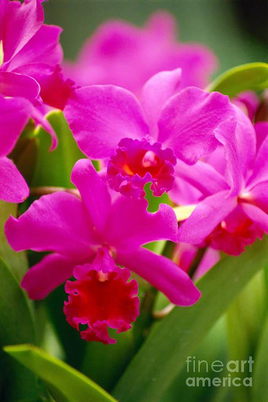 Allan Seiden Poster featuring the photograph Pink Cattleya Orchids by Allan Seiden - Printscapes