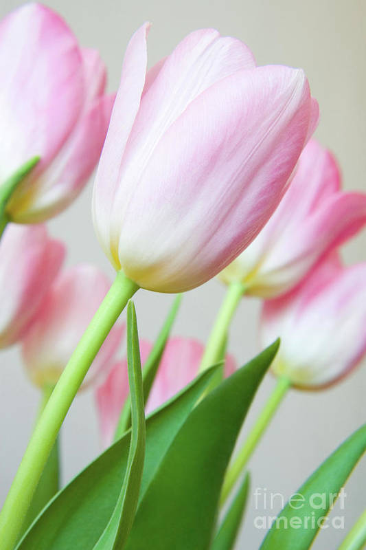 Flower Poster featuring the photograph Pink Tulip Flowers by Julia Hiebaum