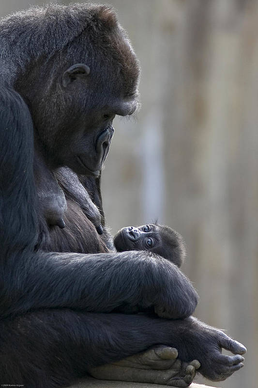 Outdoors Poster featuring the photograph Portrait Of Gorilla Mother Looking by Karine Aigner