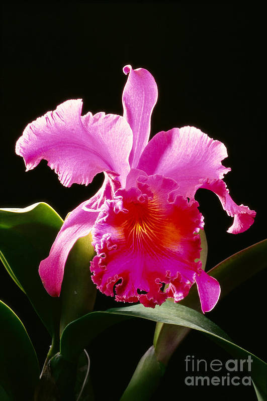 Arrange Poster featuring the photograph Purple Cattleya by Tomas del Amo - Printscapes