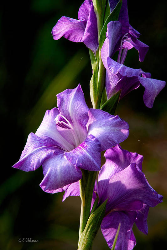 Gladiolas Poster featuring the photograph Purple Glads by Christopher Holmes