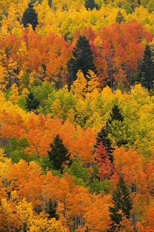 Pinus Ponoderosa Poster featuring the photograph Quaking Aspen And Ponderosa Pine Trees by Ralph Lee Hopkins