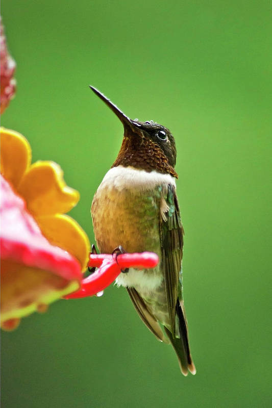 Hummingbirds Poster featuring the photograph Rainy Day Hummingbird by Christina Rollo