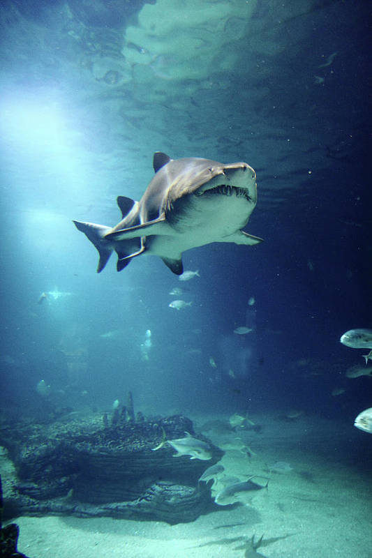 Vertical Poster featuring the photograph Underwater View Of Shark And Tropical Fish by Rich Lewis