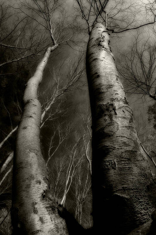 Trees Poster featuring the photograph Winter Birch by Kim Zier