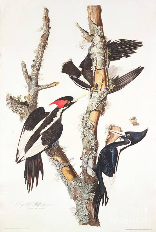 Ivory-billed Woodpecker Poster featuring the painting Woodpeckers by John James Audubon