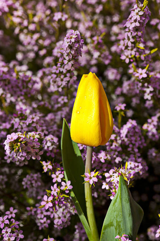 Single Yellow Poster featuring the photograph Yellow Tulip In The Garden by Garry Gay