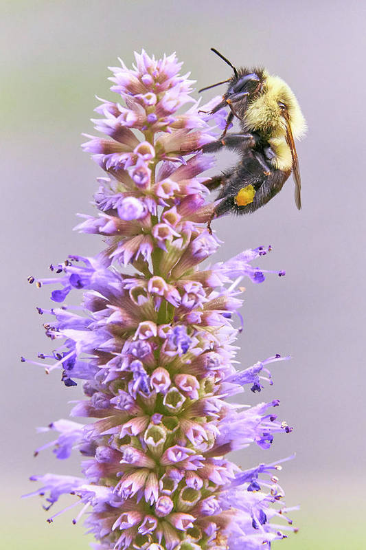 Bumblebee Poster featuring the photograph Bumblebee on Blue Giant Hyssop by Jim Hughes