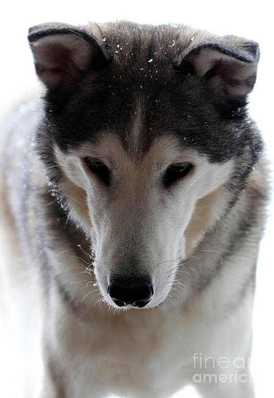 Dog Poster featuring the photograph Snowy Husky Nanuk by Marjorie Imbeau