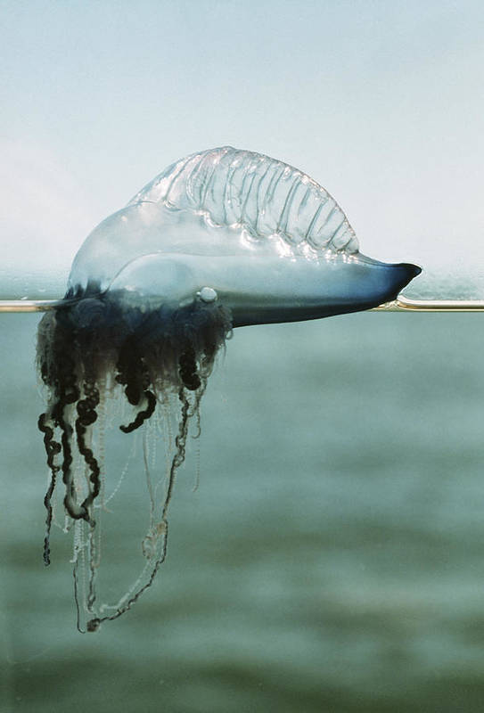 Portuguese Man Of War Poster featuring the photograph Portuguese Man-of-war by Peter Scoones
