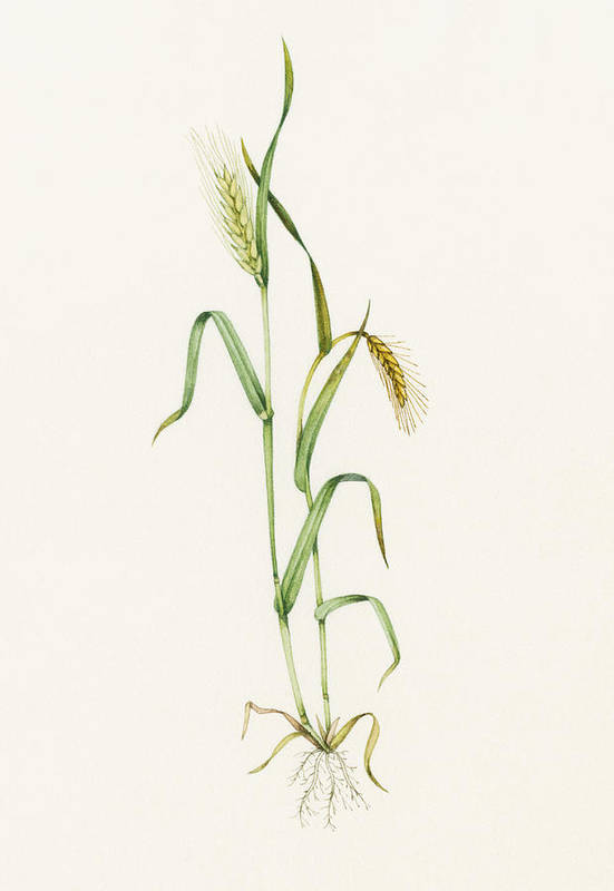 Two-row Barley Poster featuring the photograph Two-row Barley (hordeum Distichum) by Lizzie Harper