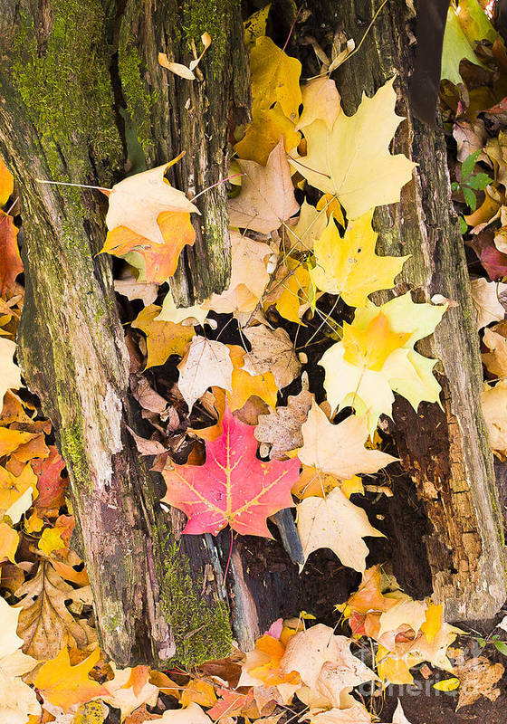 Arbretum. Fall Poster featuring the photograph Maple Leaves by Steven Ralser
