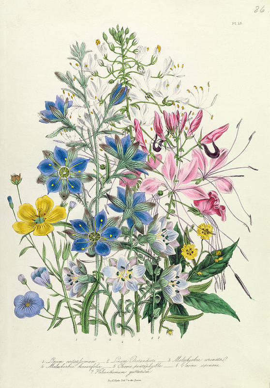 Flowers Poster featuring the painting Cornflower by Jane Loudon
