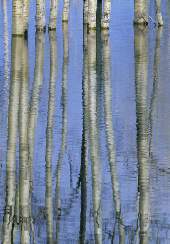 Light Poster featuring the photograph Aspen Poplar Trees Reflected In Spring by Darwin Wiggett