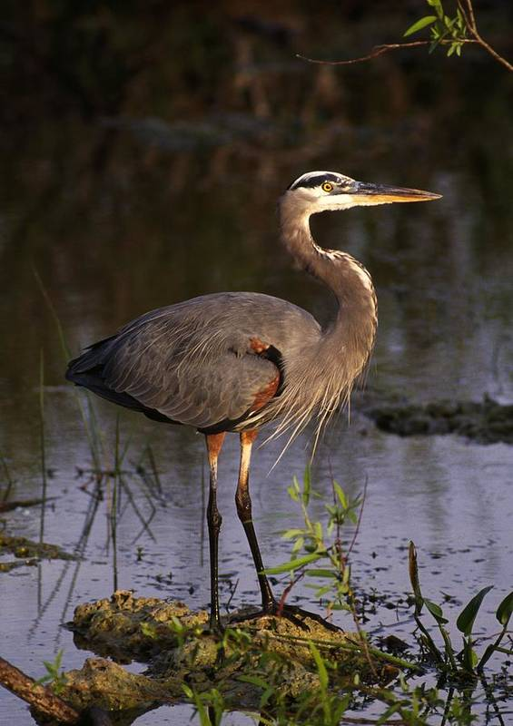 Animal Poster featuring the photograph Great Blue Heron by Natural Selection Ralph Curtin