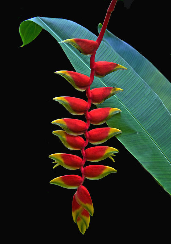 Heliconia Poster featuring the photograph Heliconia by Larry Linton