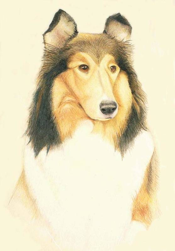 Dogs Poster featuring the drawing The Collie by Tim Ernst
